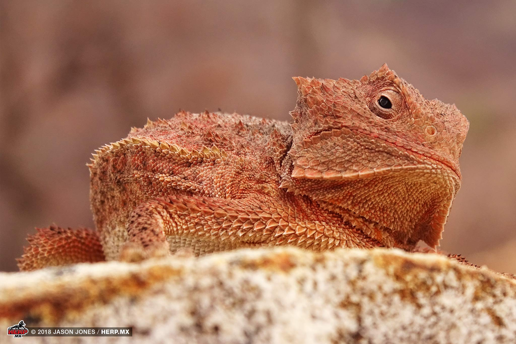 Ditmar's Horned Lizard (<em>Phrynosoma ditmarsi</em>) &copy; Jason Jones  / HERP.MX