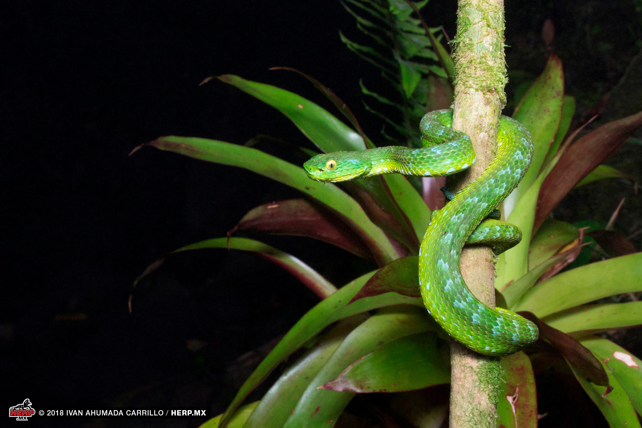 Rowley's Palm Pitviper (<em>Bothriechis rowleyi</em>) from Chiapas &copy; Ivan Ahumada Carrillo  / HERP.MX