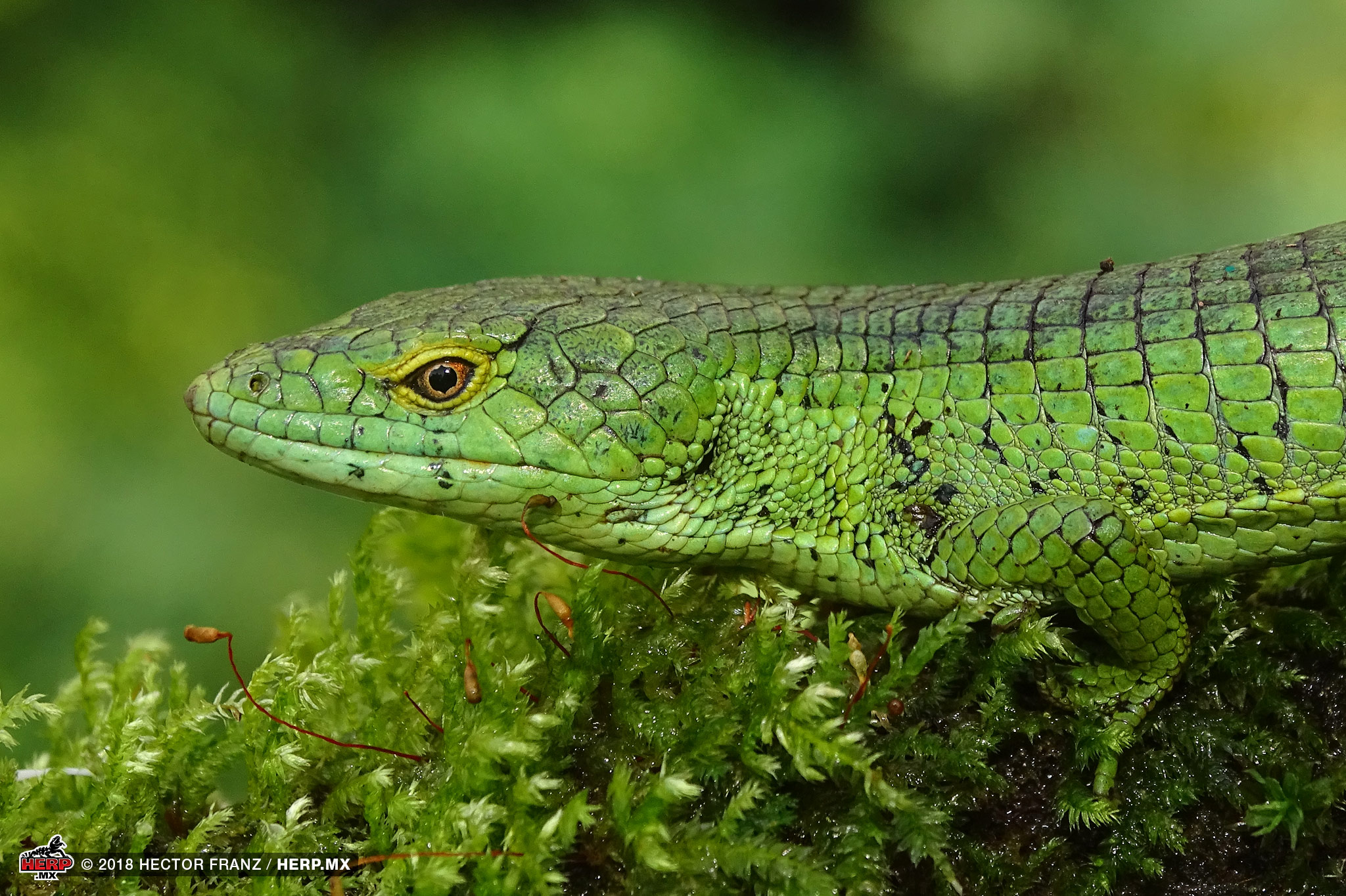An adult Matuda's Arboreal Alligator Lizard (Abronia matudai) from Chiapas © Hector Franz  / HERP.MX